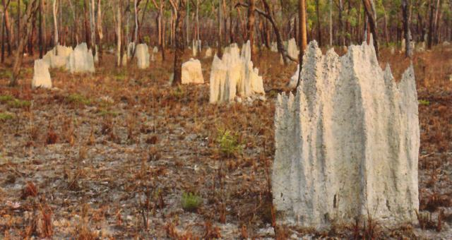 Termite mounds - Click for enlargement