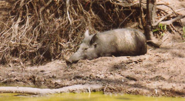 Cape York Boar Hunting - Click for enlargement